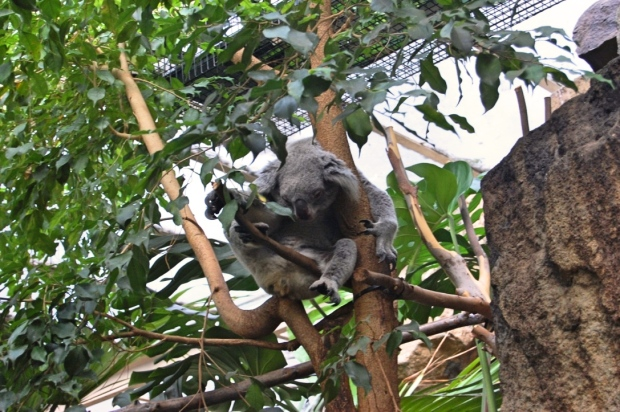 Koala edited